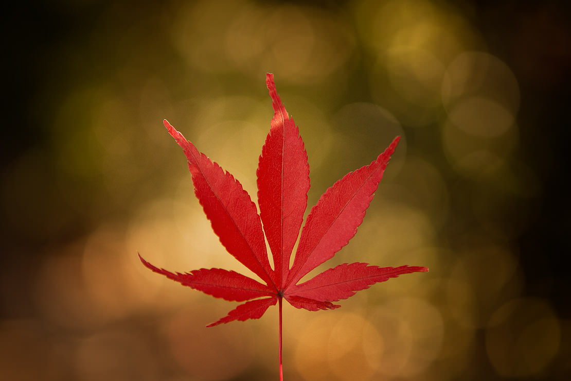 Japanese Maple Photography - Mark Lobo - Melbourne